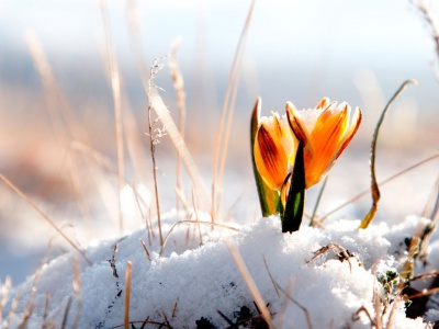 A small orange flower grows amid snow